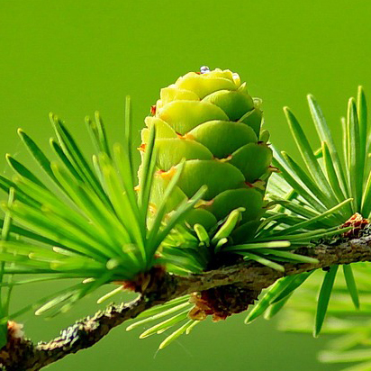 immature pine cone; terminology can distinguish between a cone and a cone