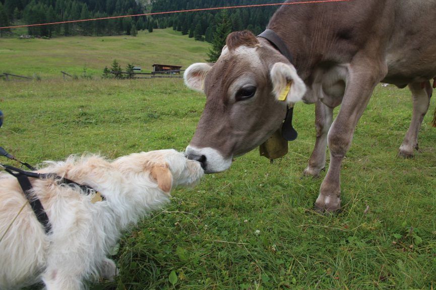 dog meets cow